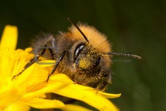 Tree Bee - Bombus hypnorum