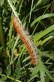 Buff-tip (Phalera bucephala) - Caterpillar
