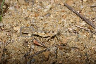 Red Sand Grasshopper (Sphingonotus caerulans)