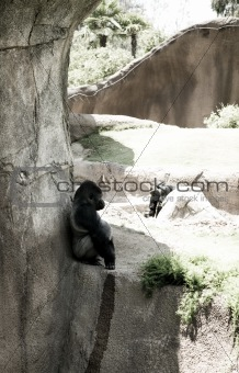 A gorilla relaxing on a rock in the afternoon