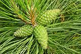 Green cones of pine