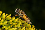 Marmalade hoverfly (Episyrphus balteatus)