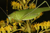 Bush cricket (Phaneroptera falcata)