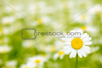 Charming camomile