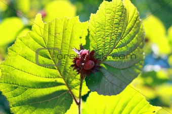 red young hazelnuts