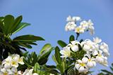 tropical frangipani flowers blue sky
