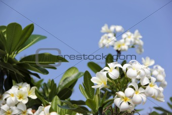 tropical frangipani flowers blue sky