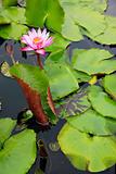 water lilly pond pattaya thailand