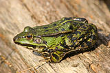Edible Frog (Pelophylax &quot;esculentus&quot;)
