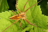 Nursery web spider (Pisaura mirabilis)