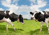 frisian cows