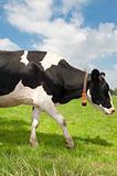 frisian cow