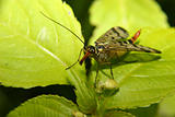 Common Scorpionfly (Panorpa communis)