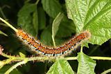 Buff-tip caterpillar (Phalera bucephala)