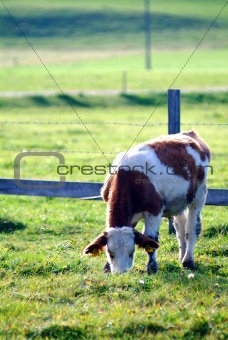cow on the willow
