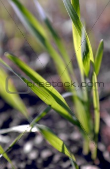 Defocused wheat leaves