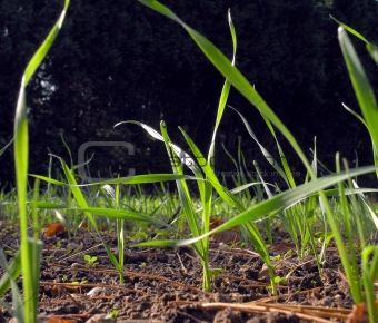 Green wheat sprouting