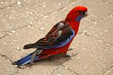 Red and blue parrot. Side view.