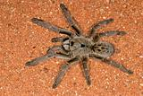 Horned baboon spider