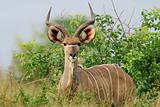 Kudu antelope