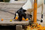 Eating goat