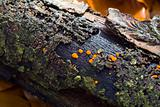 Rotten Twig with Orange Fungus