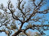 Live oak tree.