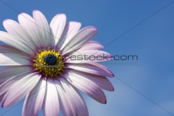 A Rain Daisy Against a Blue Sky