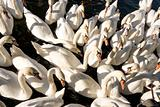 Swans Swans Swans
