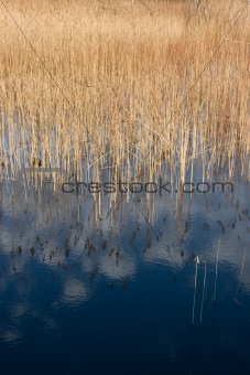 sedge reflection in lake