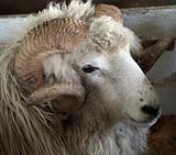 Drysdale Ram