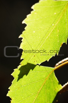 Leaves in back-light