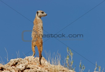 Suricate (meerkat)