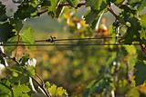 Grape Vines In the Morning Sun