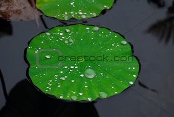 Aquatic plant covered with droplets