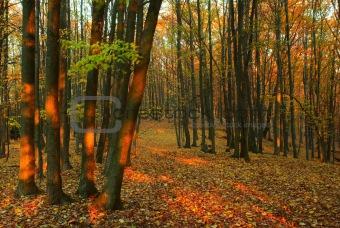 Autumn forest - 1
