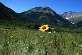 Yellow flower in Canadian Rockies