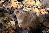 Wild murmot