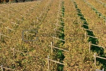 Autumnal Vineyard pattern