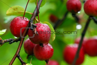Small red berries