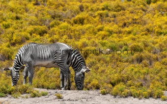 2 zebras on yellow background