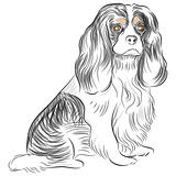 Pure Bred Cavalier King Charles Spaniel Dog Drawing
