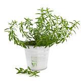 Hyssop Herb Plant