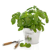 Basil Herb and Secateurs