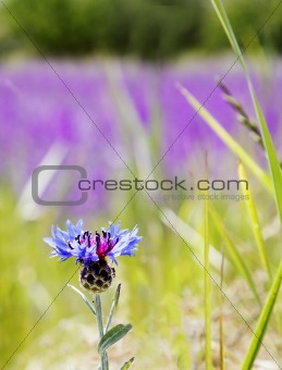 TurkishThistle in a field of wild lavender