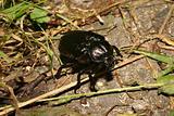 Hermit beetle (Osmoderma eremita)