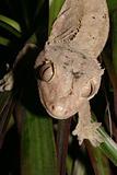 Crowns Gecko (Rhacodactylus ciliatus)
