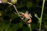 Weevil (Curculio glandium)