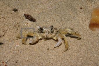 Beach crab (Portunidae)