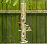Bullfinch Goldfinch Greenfinch on feeder